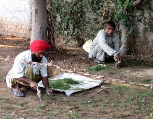 Индусы сажают травку....  способ очень странный...
