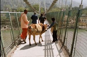 Корова на мосту Ram Jula