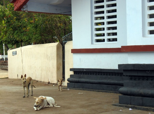 Тейям в Парсиникадаву. Собаки, живущие в храме Шри Мутаппан