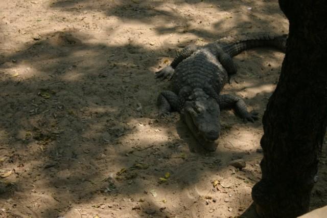 Крокодиловая ферма около Махабалипурама