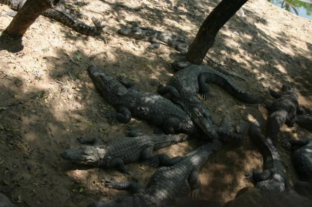 Крокодиловая ферма около Мамалапурама