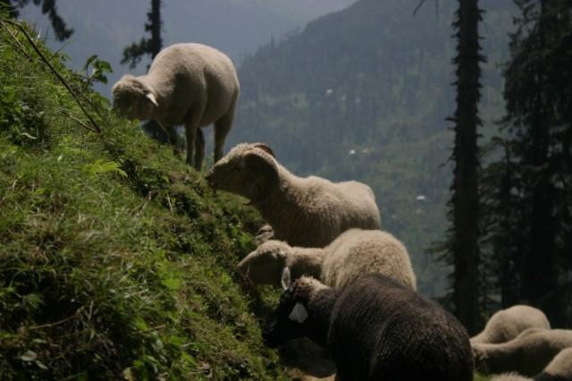 Гималайские овцы