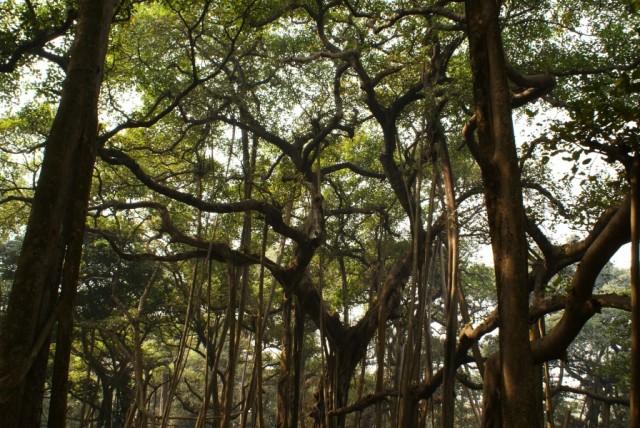 Калькуттский ботанический сад