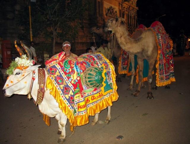 В процессии участвуют нарядные быки и верблюды