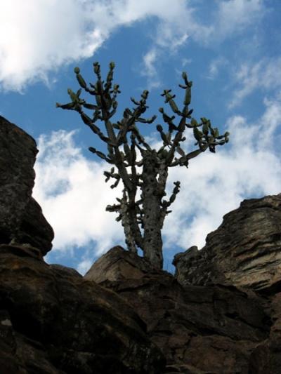 Дерево-кактус. Тирумала