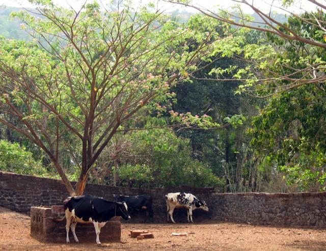 Коровник в Ананда ашраме