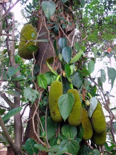 Плоды хлебного дерева или – джекфрут