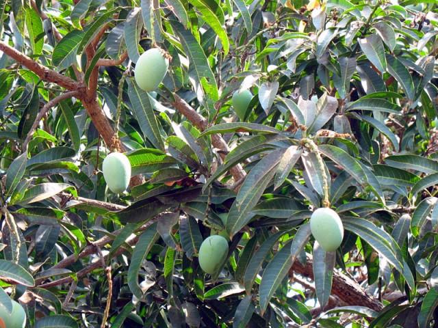 Манго в саду Ананда ашрама