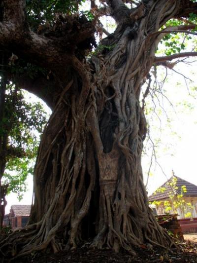 Баньян возле храма Анантапурам