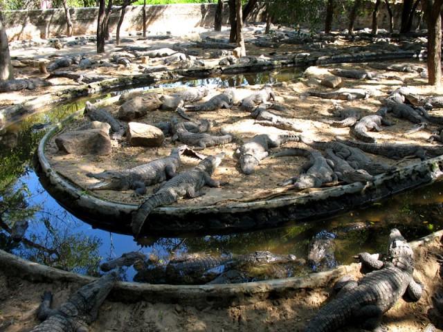 И это не каменные изваяния, а настоящие крокодилы!