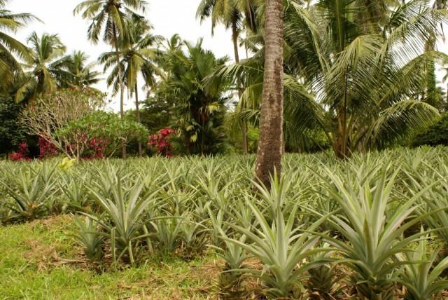 Karkal, ананасовая ферма
