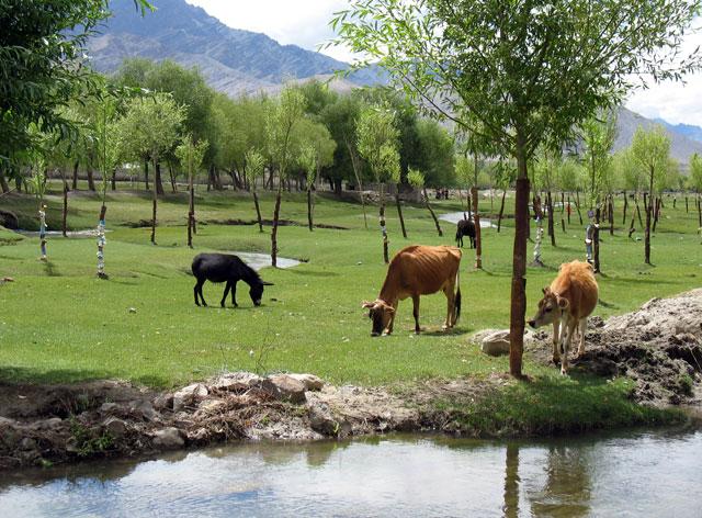 Зеленый оазис посреди горной пустыни, Ладакх