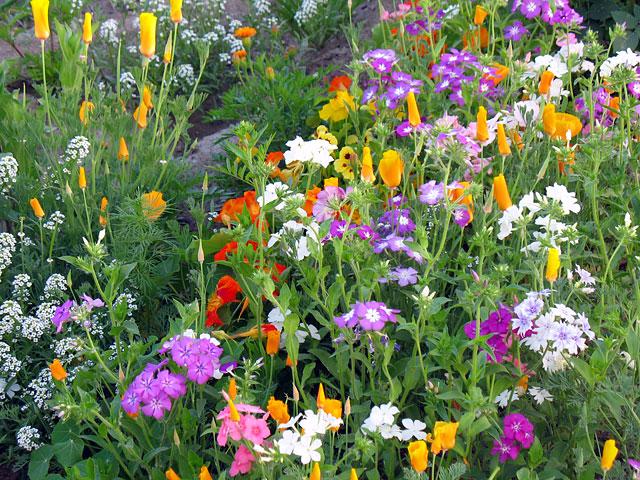 На серой ладакхской земле при желании можно вырастить вот такую красоту. Сад хозяйки нашего гестхауса