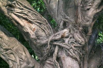 Такие деревья бывают только в Индии