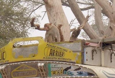 Верхом на автобусе - так путешествуют обезьяны