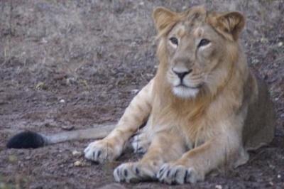 Лев в нац. парке Сасан Гир