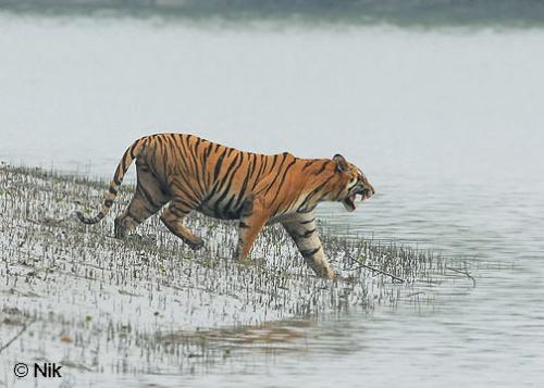 Бенгальский тигр в нац. парке Сундарбанс