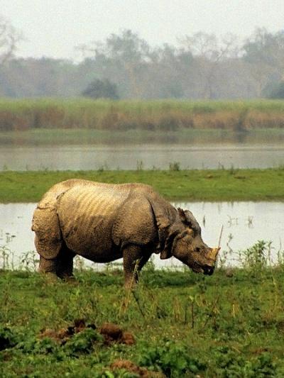 Индийский носорог в нац. парке Казиранга