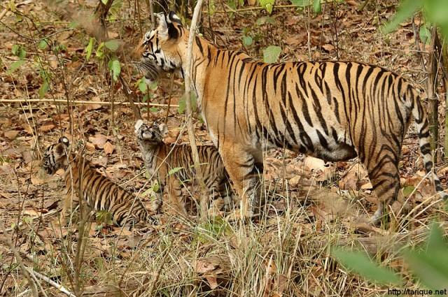 Тигрца с тигрятами в нац. парке Кана