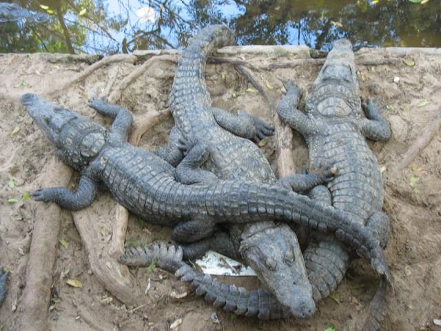 Крокодилы в Крокодиловом банке