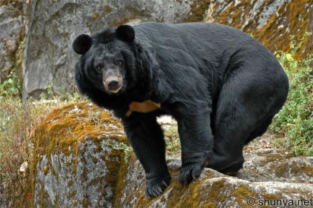 Гималайский черный медведь