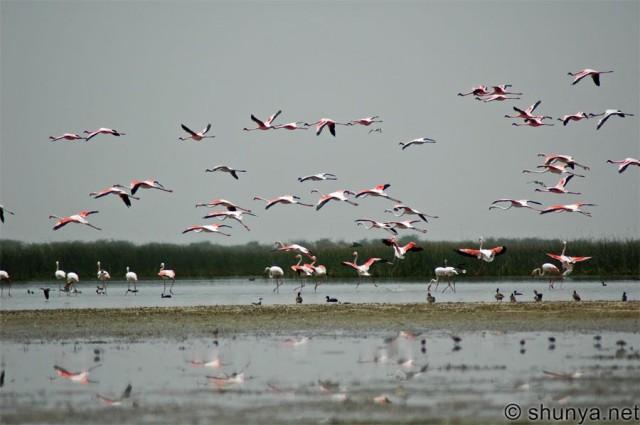 Фламинго в Гуджарате