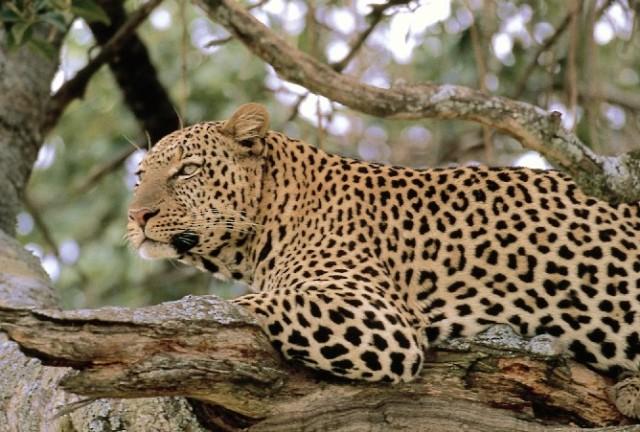 Леопард - один из обитателей лесов Деканского плоскогорья