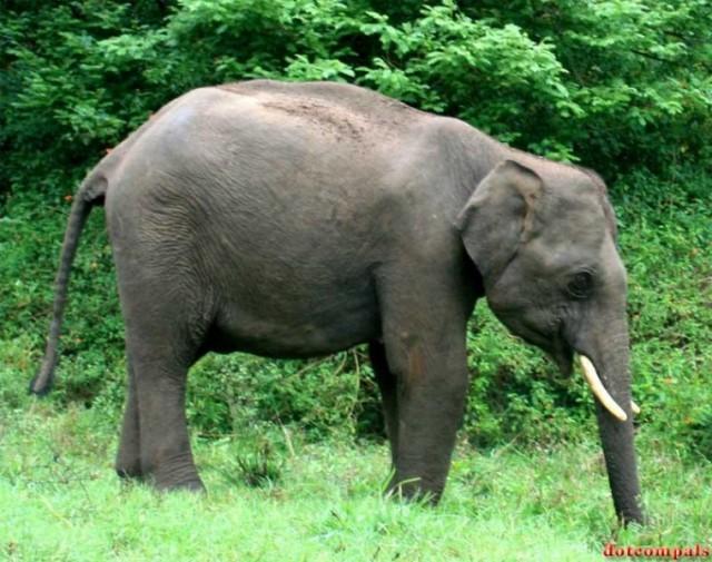 Слон в джунглях Южной Индии