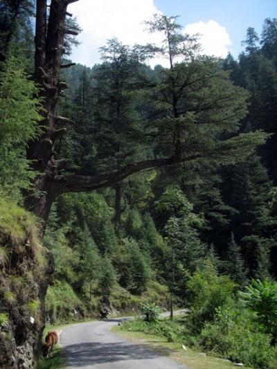 Дерево, растущее в воздухе, Джиби