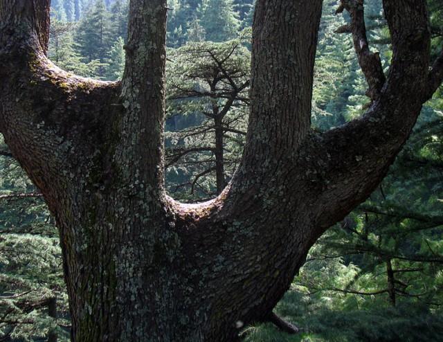 Дерево для трех бабок-ёжек, Джиби