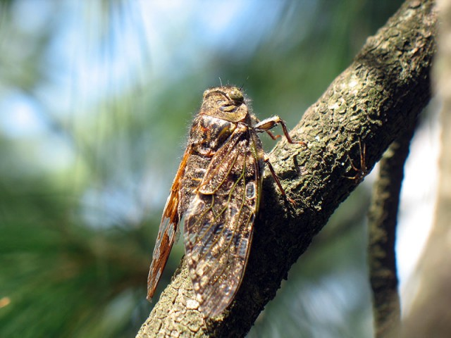 Эта крошка-цикада 4 см в длину издает пронзительный пилеж на всю округу