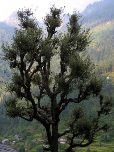 Дерево в Джиби