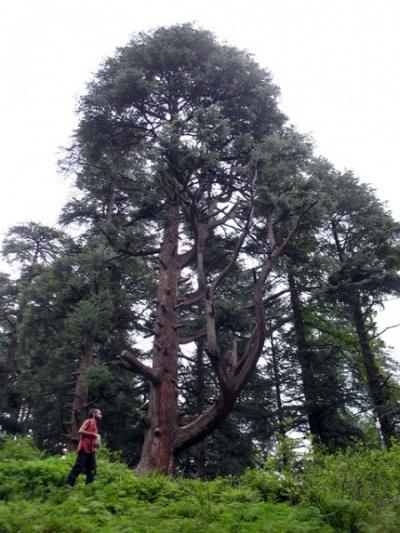 Могучее дерево, Джиби