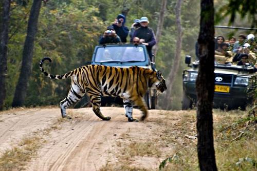 Тигр умное животное и старается не входить с человеком в конфликт. Людоедами становятся те из них, кто уже не может охотиться в естестественных услови