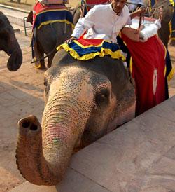 благодаря Great Indian Elephant Safari, слоны обрели «вторую жизнь». Раньше их использовали на лесозаготовках, а потом, когда вырубка лесов была запре