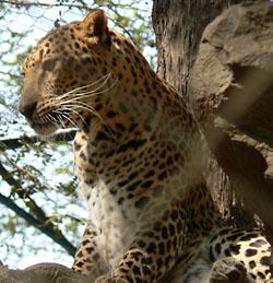 По виду индийский леопард ничем не отличается от своих собратьев в Африке и на Кавказе. Но только в Индии можно встретить «меланиста» — черного леопар