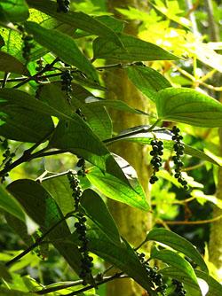 В окрестностях «Спокойного курорта» много плантаций перца, который обладает особым «земляным запахом», благодаря содержащимся в нем эфирному маслу и п