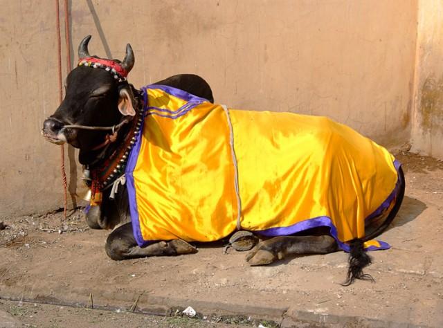 Священная корова. Джайпур