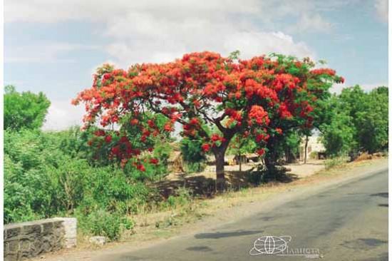 Индийское дерево