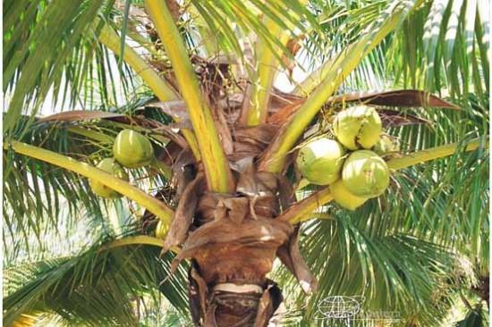 Кокосы на кокосовой пальме