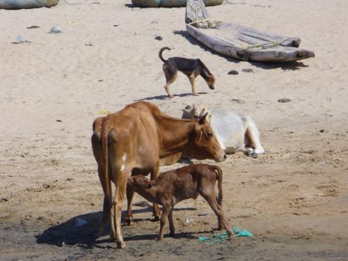 у нашей коровы родился теленок