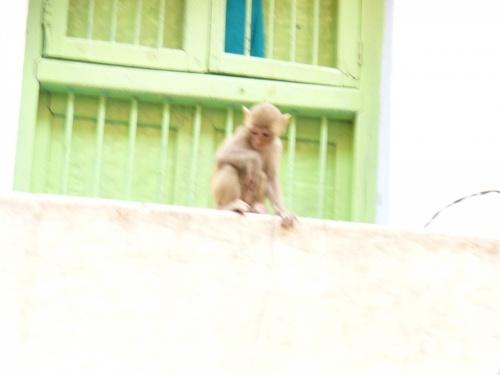 Варанаси. обезьяненок.