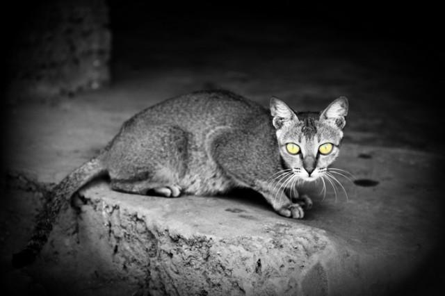 Goan cat