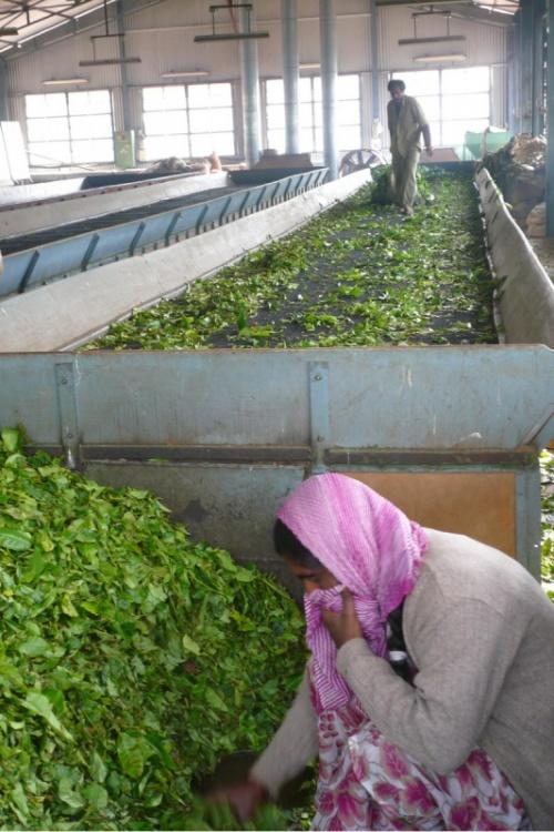 На чайной фабрике