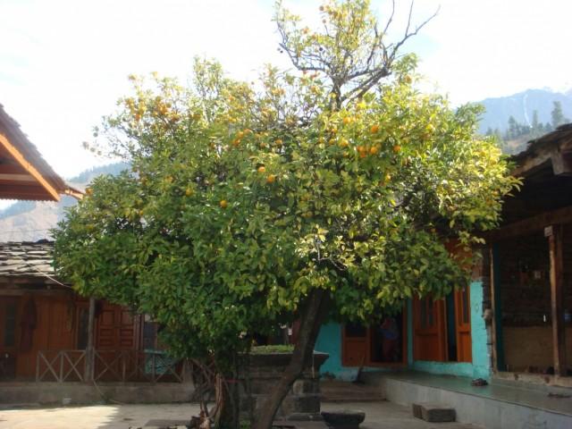 Мандариновое дерево. Храм Кришны.