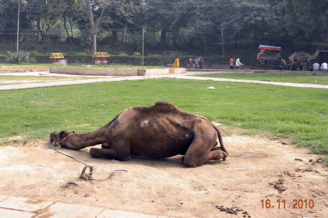 Уставший верблюд возле входа в Тадж