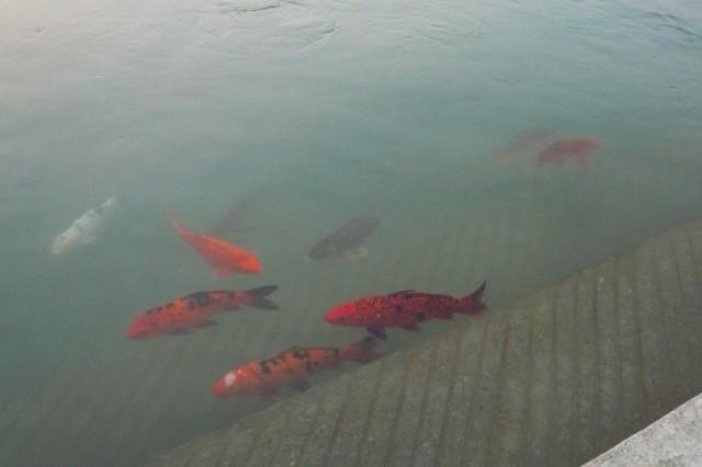 Рыбы в храмовом пруду