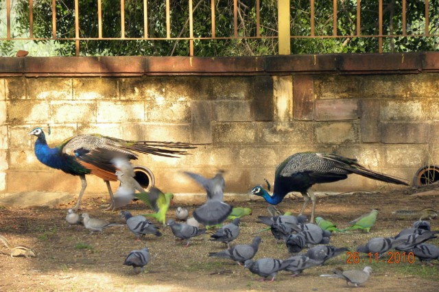 Павлины в храмовом парке