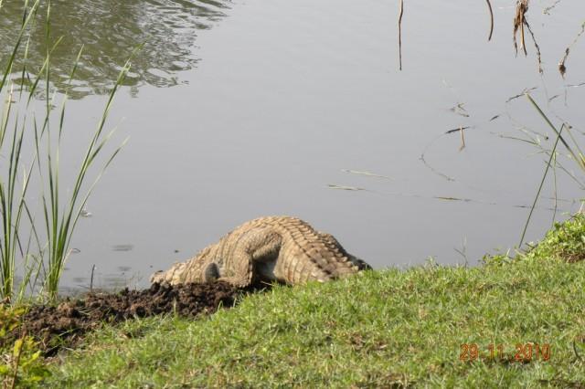 А вот и крокодил. Вид сзади
