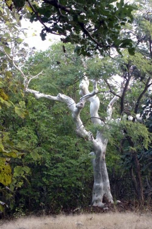 Каучуковое дерево (говорят, их любят леопарды)